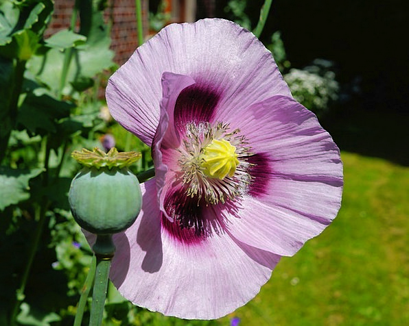Flower Floret Elaborate Close Near Purple Poppy