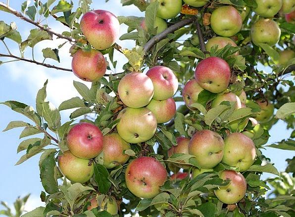 Apple Tree Drink Food Tree Sapling Apples Fresh Ri