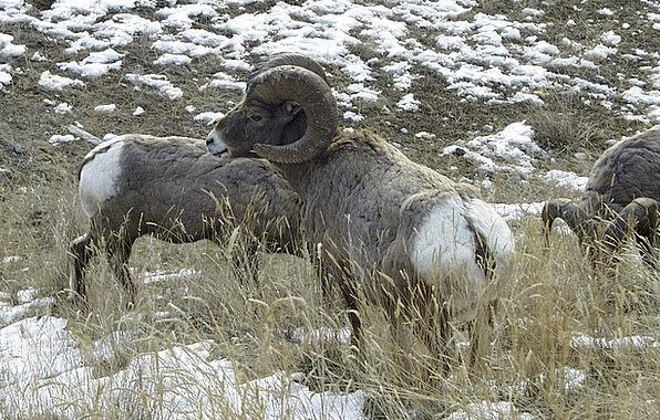 Bighorn Ewe Animal Physical Sheep Widder Rocks Pil