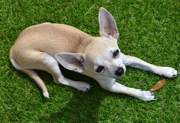 Chihuahua Canine Animal Physical Dog Pet Domestica