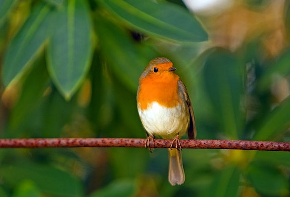 Robin Fowl Red Robin Bird Close-Up Feathered Cute
