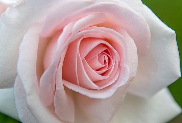 Rose Design Landscapes Flushed Nature Petal Pink F