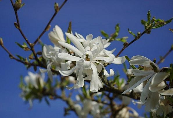 Star Magnolie Flower Floret Magnolia White Snowy O