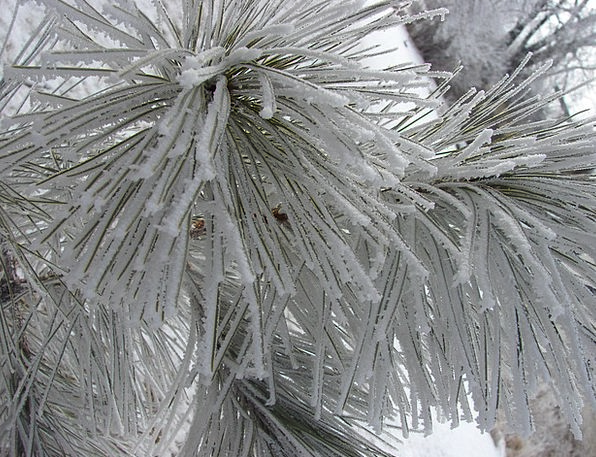 Winter Snowflake Pine Long Snow Frost Ice Seasonal