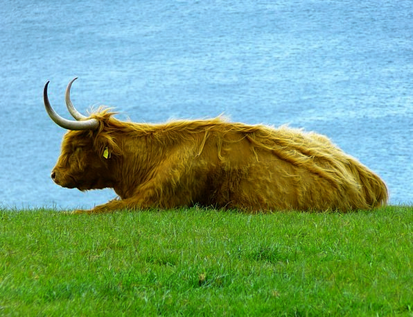 Highland Beef Kyloe Highland Cattle Scottish Hochl
