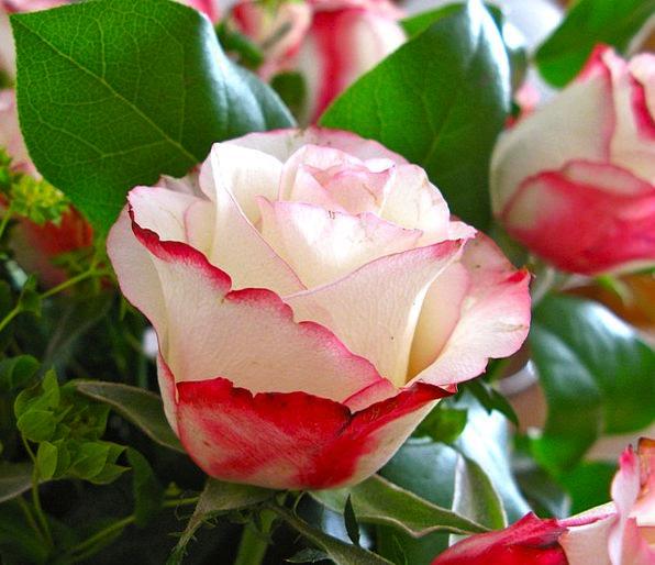 Rose Design Landscapes Plants Nature Red White Flo