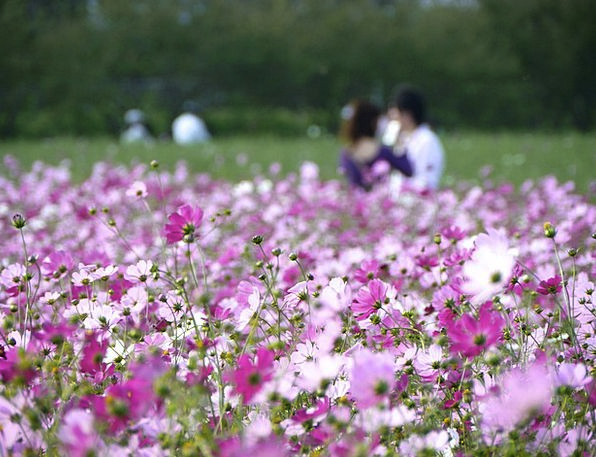 In Love Enamored Universe Flower Garden Cosmos Lov