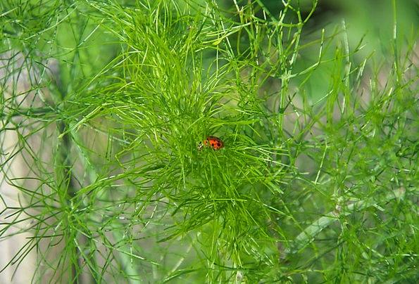 Dill Lime Herbs Basils Green Garden Plot Ladybug I