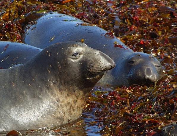 Robbe Closure Meeresbewohner Seal Animals Seals Cl
