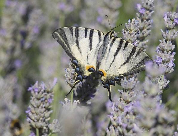 Lavender Violet Scented Plant Butterfly