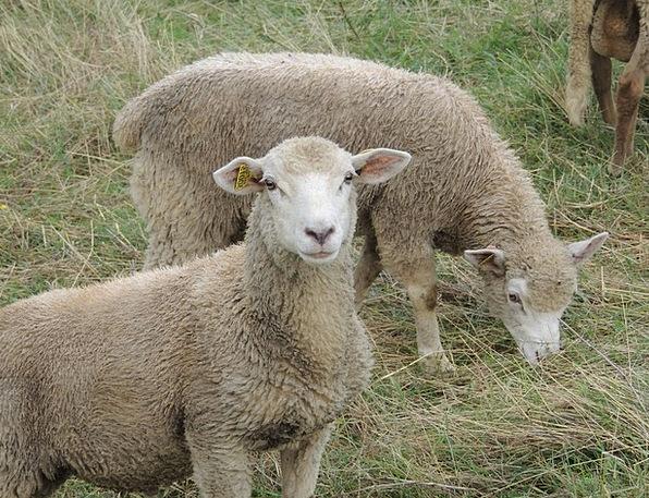 Sheep Ewe Faunae Close Near Animals Animal Physica