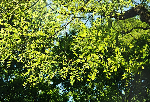 Leaves Greeneries Lime Robinia Green Common Maple