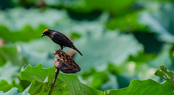 Bird Fowl Floret Lotus Flower