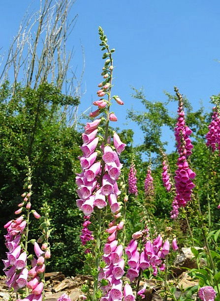 Digitalis Landscapes Nature Foxglove Purple Foxglo