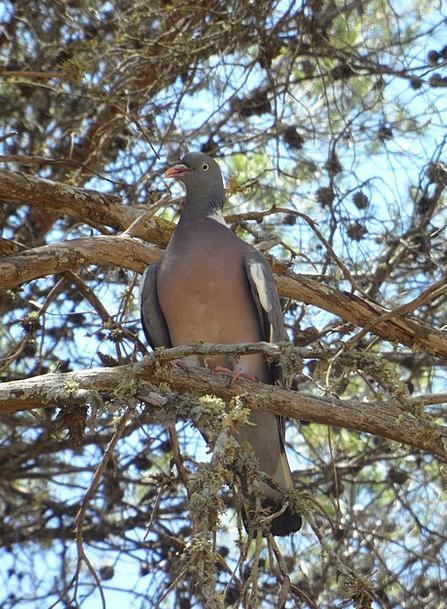 Dove Pacifist Fowl Tree Sapling Bird Animal Physic