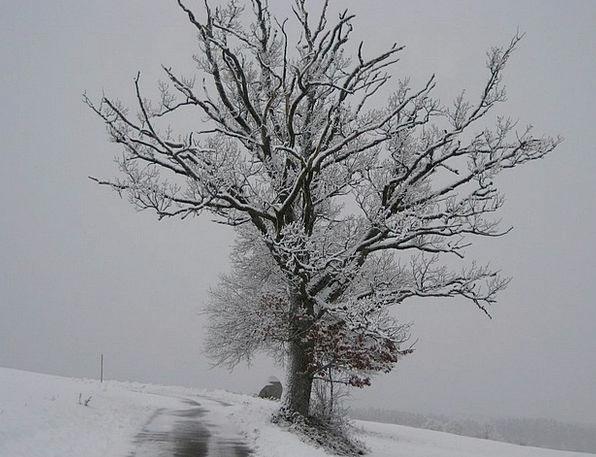 Snow Snowflake Chilly Tree Sapling Wintry