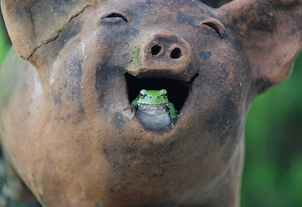 Tree Frogs Glutton Laughter Happiness Pig