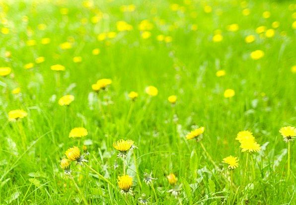 Dandelion Landscapes Field Nature Spring Coil Mead