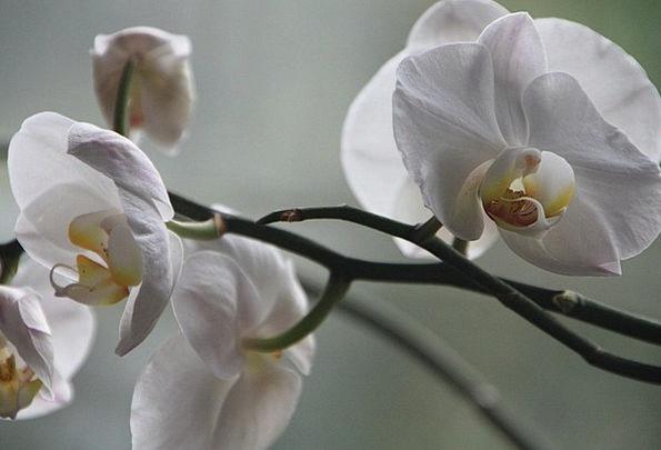 Orchid Landscapes Nature Flower Floret Phalaenopsi