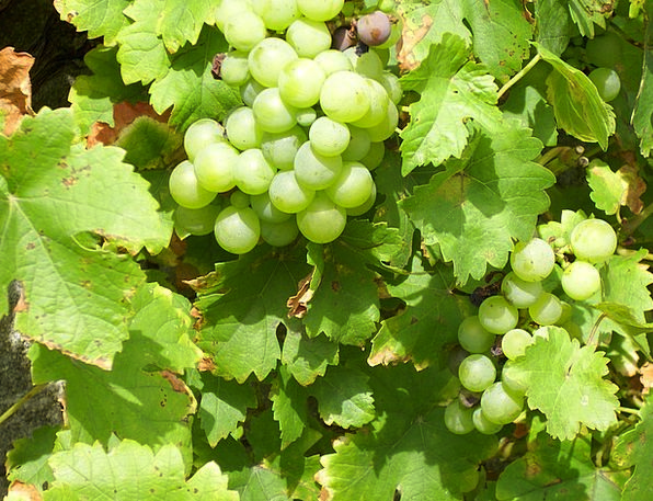 Grapes Landscapes Creepers Nature Nature Countrysi