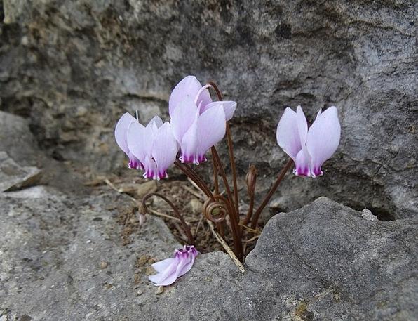 Cyclamen Landscapes Vegetable Nature Flowers Plant