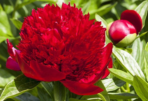 Peony Landscapes Floret Nature Nature Countryside