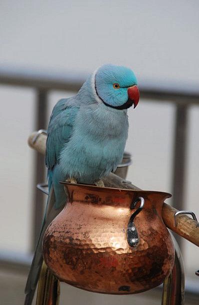 Blue Parrot Bird Fowl Papu?ka Nature Countryside A
