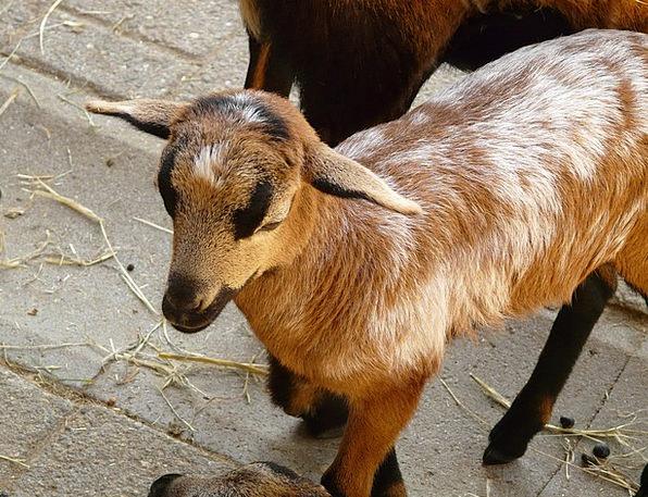 Domestic Goat Livestock Beef Goat Farm Farmhouse F