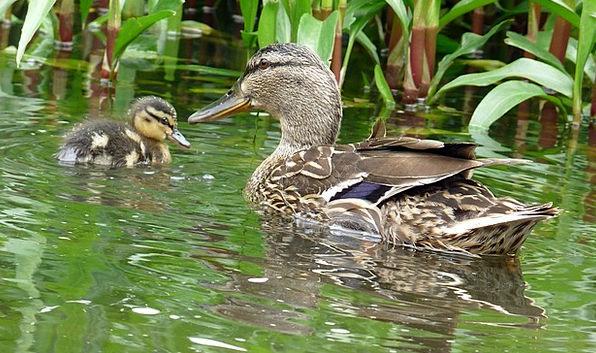 Duck Stoop Landscapes Aquatic Nature Nature Countr
