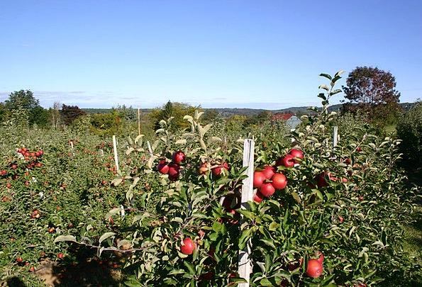 Apple Orchard Landscapes Nature Apple Tree Apple B