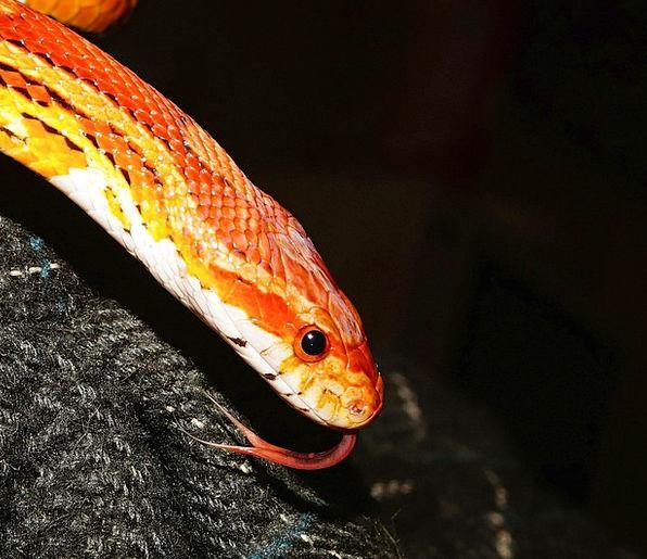 Corn Snake Serpent Reptile Snake Animal World Natt