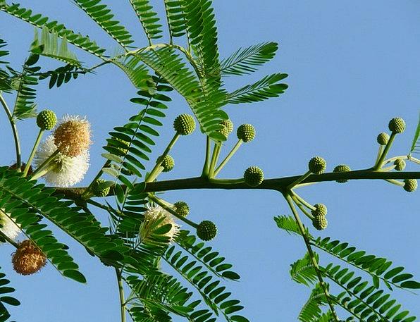 Acacia Flowers Floret Inflorescences Flower Acacia
