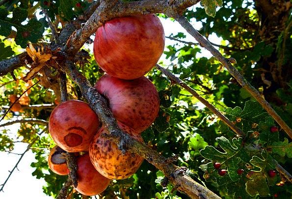 Tree Fruit Drink Ovary Food Red Bloodshot Fruit Tr