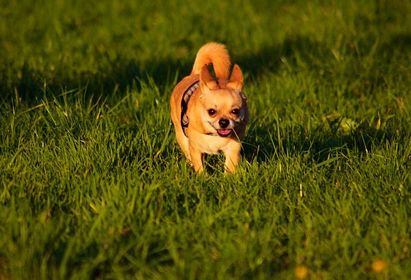 Wonderful Chihuahua Canine Adorable Dog - Chihuahua-Cute-Dog-Running-Free-Image-Pet-Animal-F-6200  Gallery_968830  .jpg