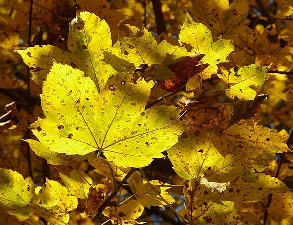 Mountain Maple Landscapes Nature Maple Acer Pseudo
