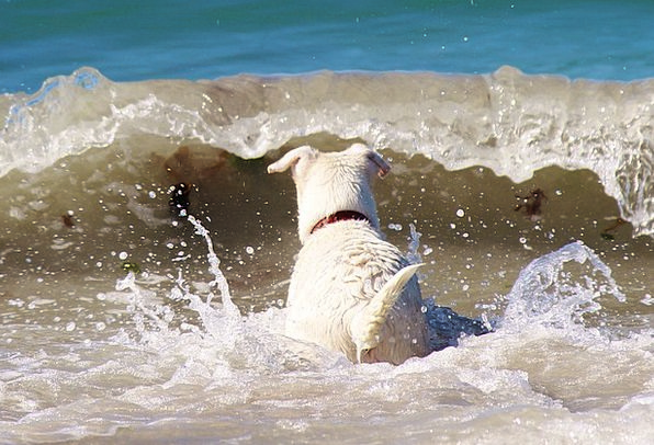 Dog Canine Marine Beach Seashore Sea Wave Upsurge