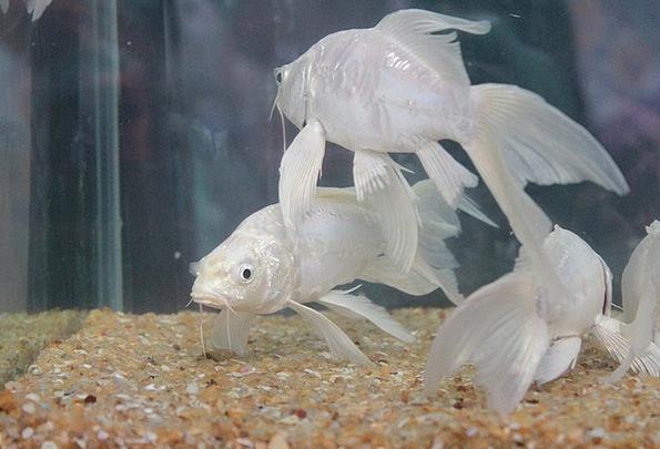 White fish aquarium 1000 aquarium ideas for Aquarium angle
