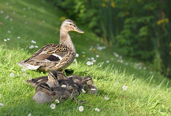 Duck Stoop Physical Young New Animal Fauna Young A