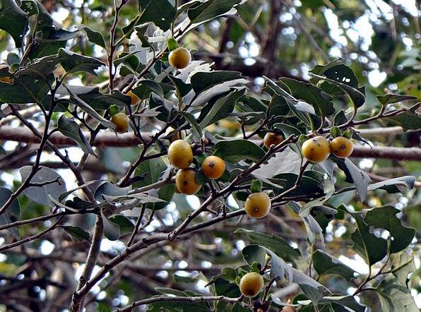 East Indian Ebony Drink Food Tendu Diospyros Melan