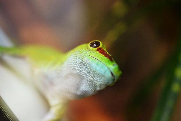Gecko Physical Reptile Animal Exotic Lizard Fauna
