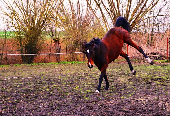 Horse Mount Competition Knock Out Rodeo Jump Hurdl