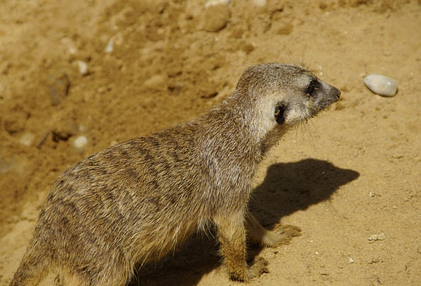 Meerkat Physical Fur Hair Animal
