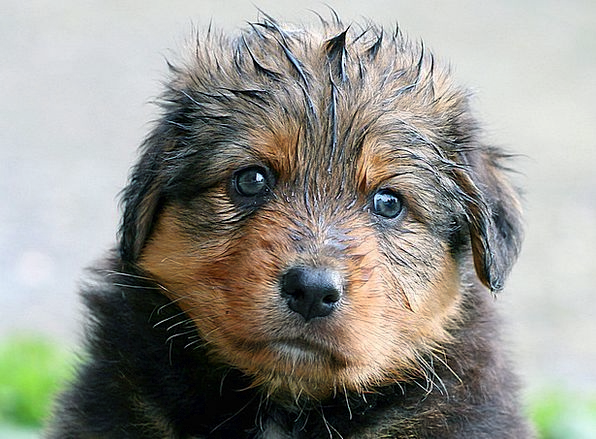 Puppy Brat Rainy Dog Canine Wet Baby Darling Cute