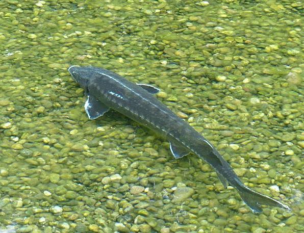 Sterlet Angle Acipenser Ruthenus Fish River Stream