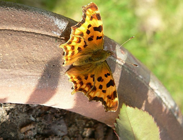 Butterfly Bug Painted Lady Insect Spots Acnes