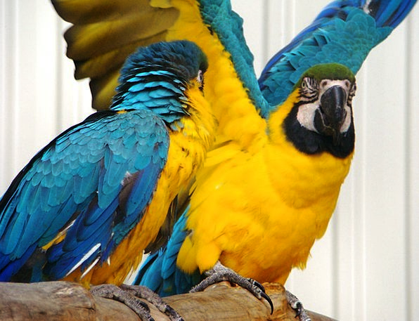 Bird Fowl Annexes Parrot Imitator Wings Colorful I