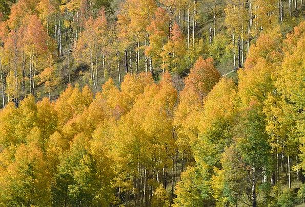 Colorado Fall Color Aspen Trees