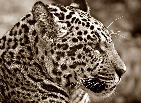 Jaguar Sepia Halbwüchsig Profile Outline Cat Head