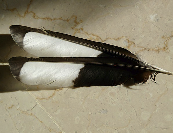 Feather Quill Bird Fowl Elster Black And White