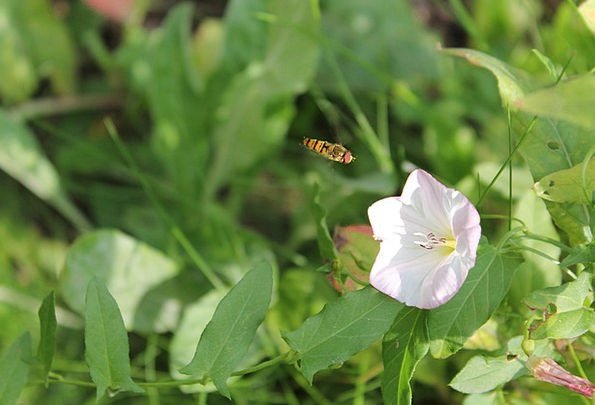 Hoverfly Bug Flower Floret Insect Nature Countrysi